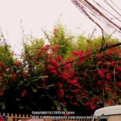 Location: Pasig City - PhilippinesDate: 2015-05-15 -Summertime -courtesy of my friend Mary AnnA huge bougainvillea in the city.