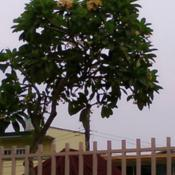 Location: Pasig City - Philippines Date: 10May2015 - summertime - courtesy of my friend Mary AnnA towering Plumeria tree-locally called in the Phil as Kalachuchi