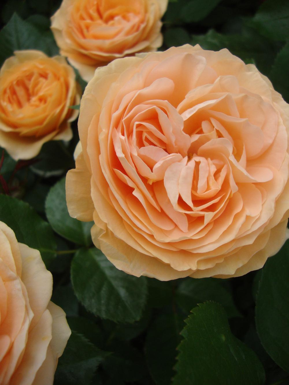 Photo of Roses (Rosa) uploaded by Paul2032