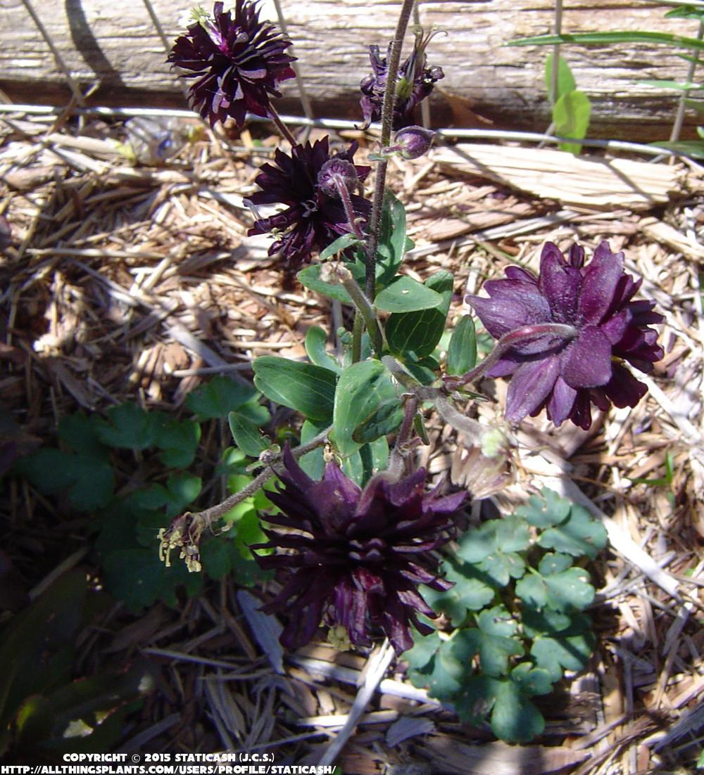 Photo of the entire plant of clematis flowered columbine aquilegia photo of clematis flowered columbine aquilegia vulgaris black barlow uploaded by izmirmasajfo