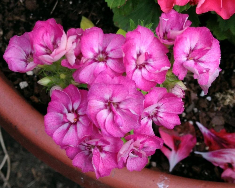 Photo of Annual Phlox (Phlox drummondii 'Promise® Mix') uploaded by bxncbx