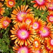 Location: SRQHoyasDate: 2015-05-17Ice Plant  Delosperma 'Fire Spinner'