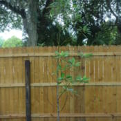 Location: Lutz, FLDate: 2015-05-17Bought this tree about three months ago.  I'm hoping to attract T