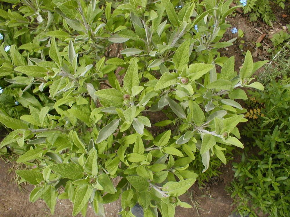 Photo of Culinary Sages (Salvia officinalis) uploaded by admin