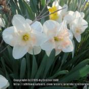 Location: Critter's garden in Frederick MDDate: 2015-04-26upward-facing blooms -- nice!