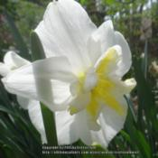 "Location: Critter's garden in Frederick MDDate: 2015-05-18Still loving the clear yellow ""pinwheel"" in this daff"