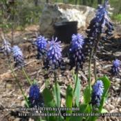Location: Aspenhill's garden near Lucketts VADate: 2015-04-21