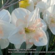Location: Critter's garden in Frederick MDDate: 2015-04-26lovely pale pink color in the cup