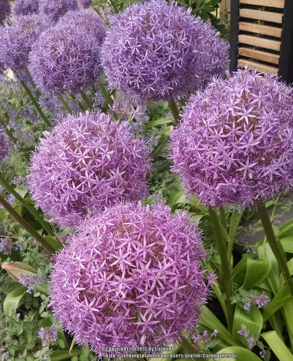 photo of the bloom of giant onion allium giganteum 39 globemaster 39 posted by catmint20906. Black Bedroom Furniture Sets. Home Design Ideas