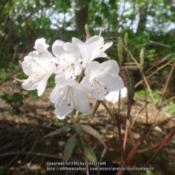 Location: Critter's garden in Frederick MDDate: 2015-04-20tiny, pure white blooms make this deciduous azalea pretty sweet