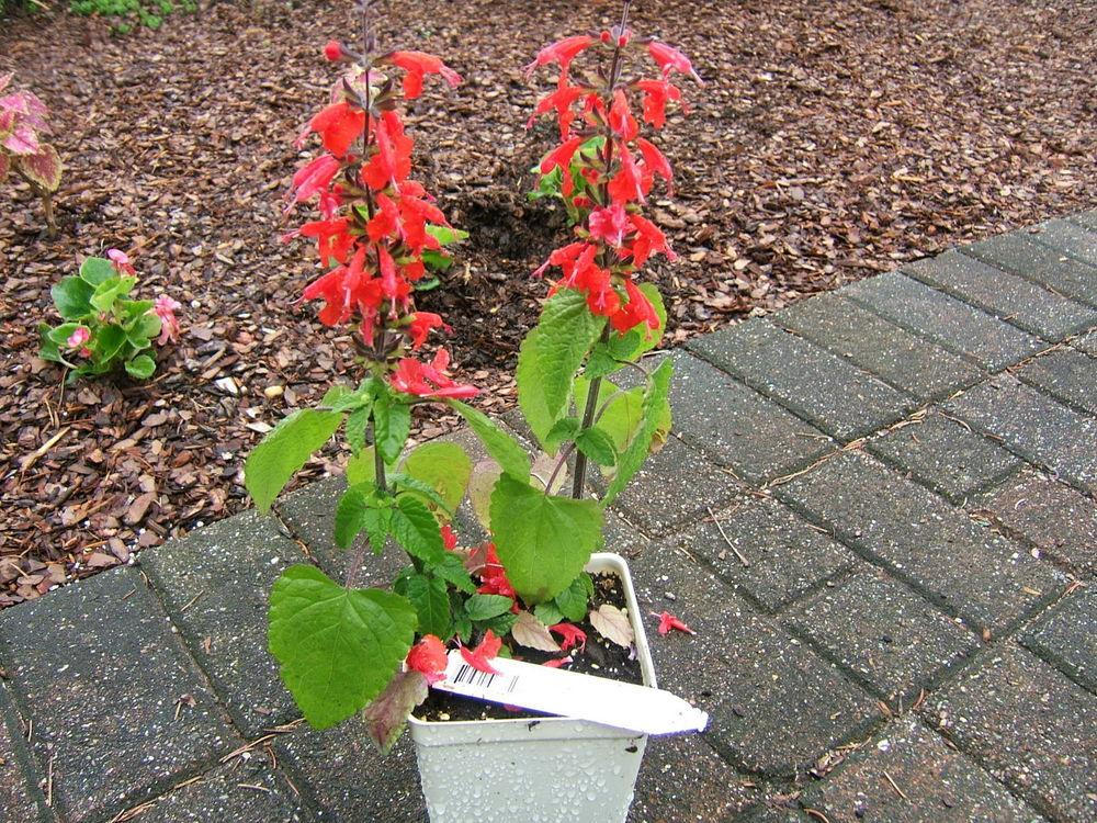 Photo of Scarlet Sage (Salvia coccinea 'Lady in Red') uploaded by pirl