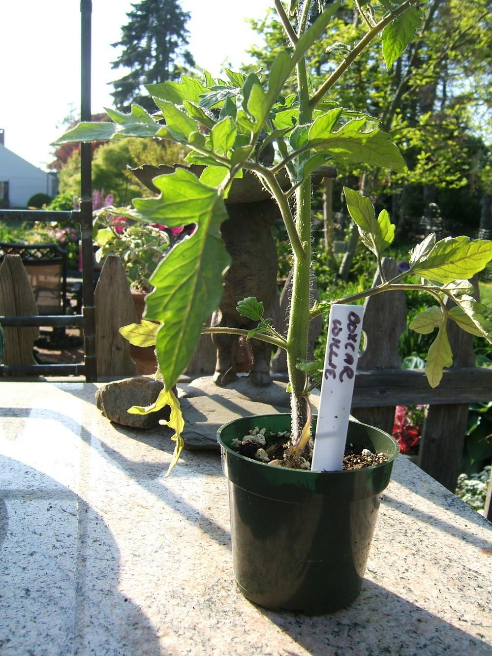 Photo of Tomato (Solanum lycopersicum 'Box Car Willie') uploaded by pirl