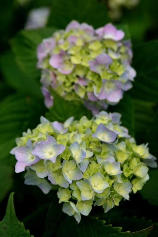 Photo of Bigleaf Hydrangea (Hydrangea macrophylla 'Nikko Blue') uploaded by Calif_Sue