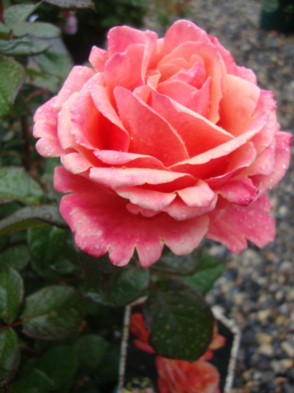 Photo of Rose (Rosa 'Anna's Promise') uploaded by Paul2032