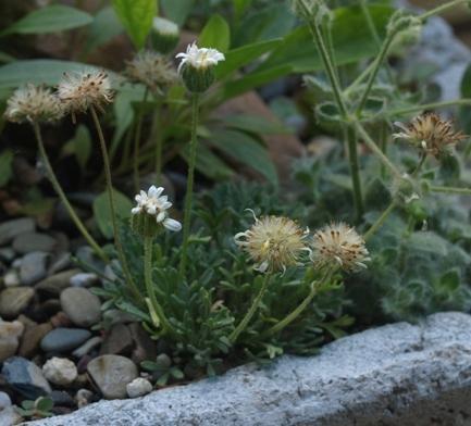 Photo of Cutleaf Daisy (Erigeron compositus) uploaded by plantrob