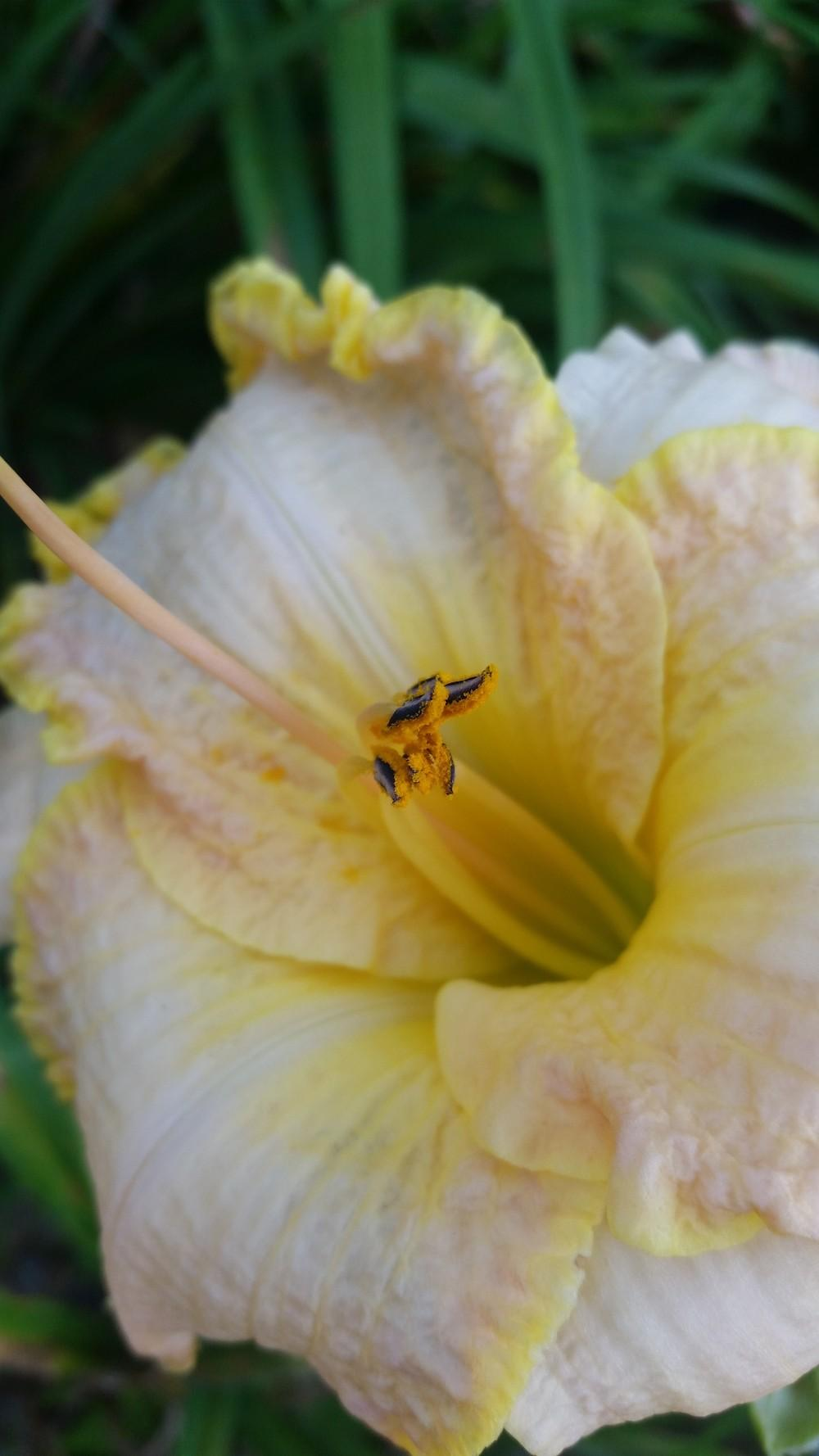 Photo of Daylily (Hemerocallis 'Spacecoast Cool Deal') uploaded by value4dollars