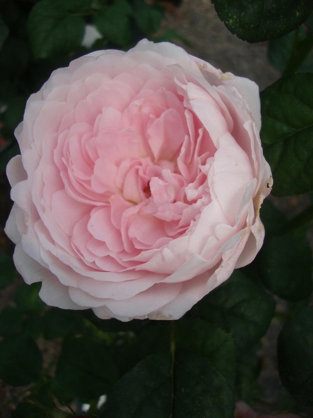 Photo of Rose (Rosa 'Queen of Sweden') uploaded by Paul2032
