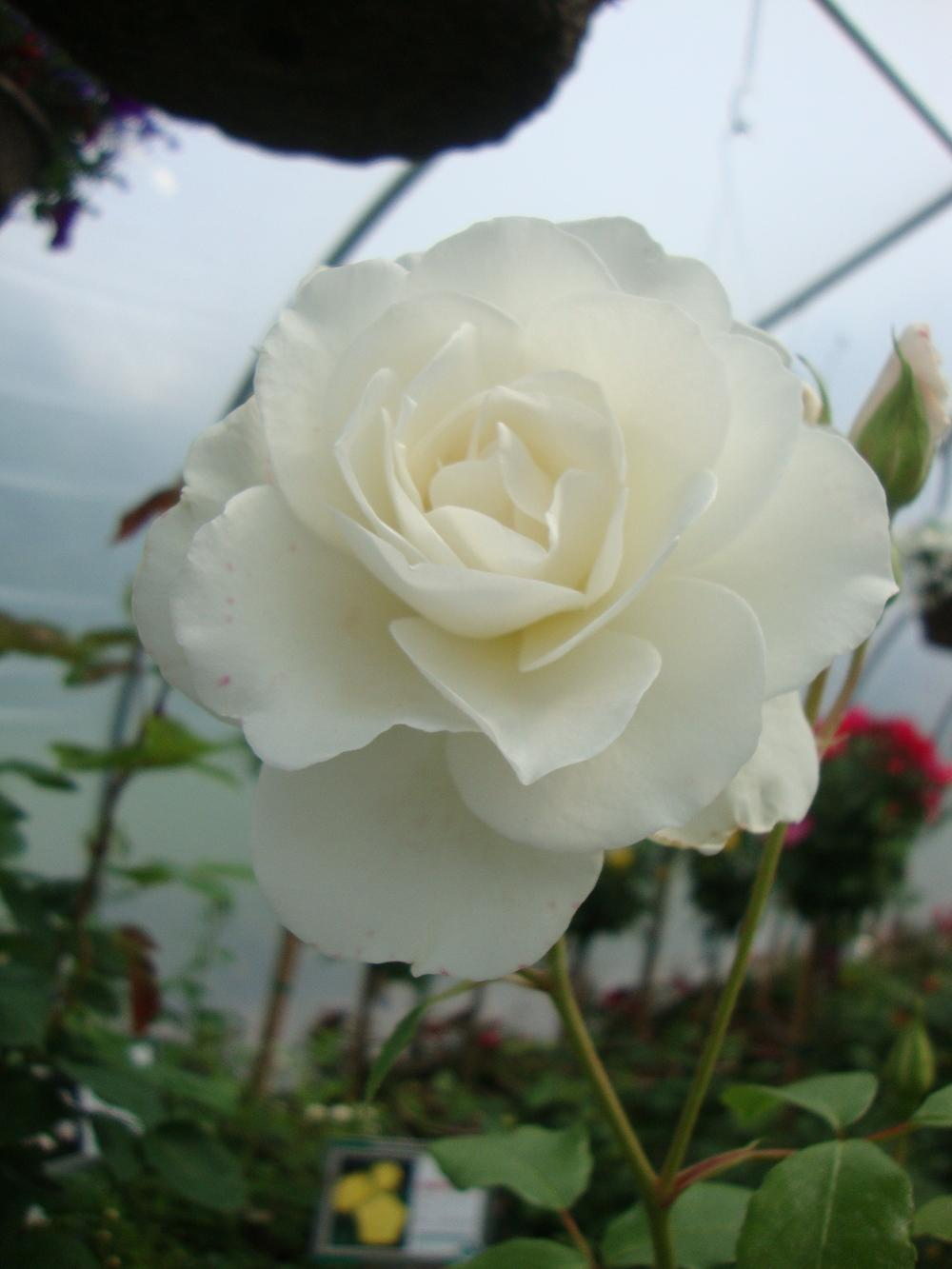 Photo of Rose (Rosa 'Iceberg, Cl.') uploaded by Paul2032
