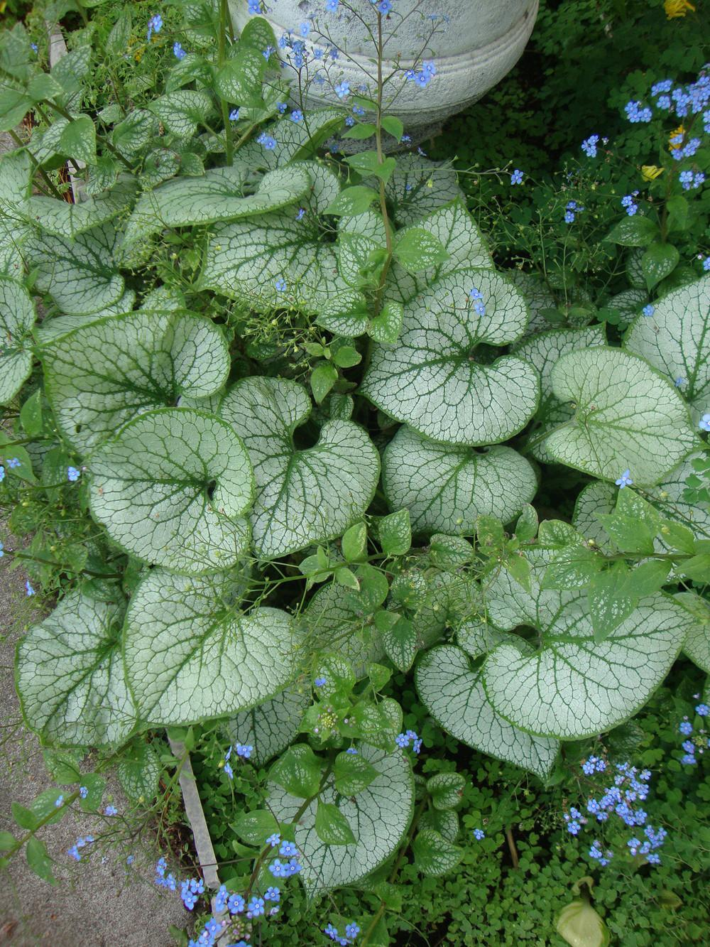 Photo of Brunnera (Brunnera macrophylla 'Jack Frost') uploaded by Paul2032