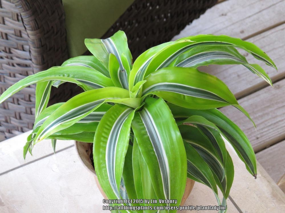 Dracaena fragrans 'Lemon Lime' ..... Dracaena fragrans 'Lemon ...