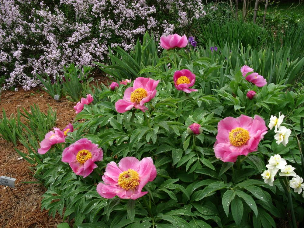 Photo of the entire plant of peony paeonia officinalis for Paeonia officinalis