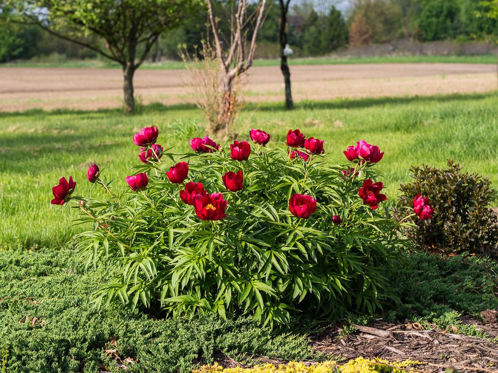Peonies Plant Care And Collection Of Varieties Garden