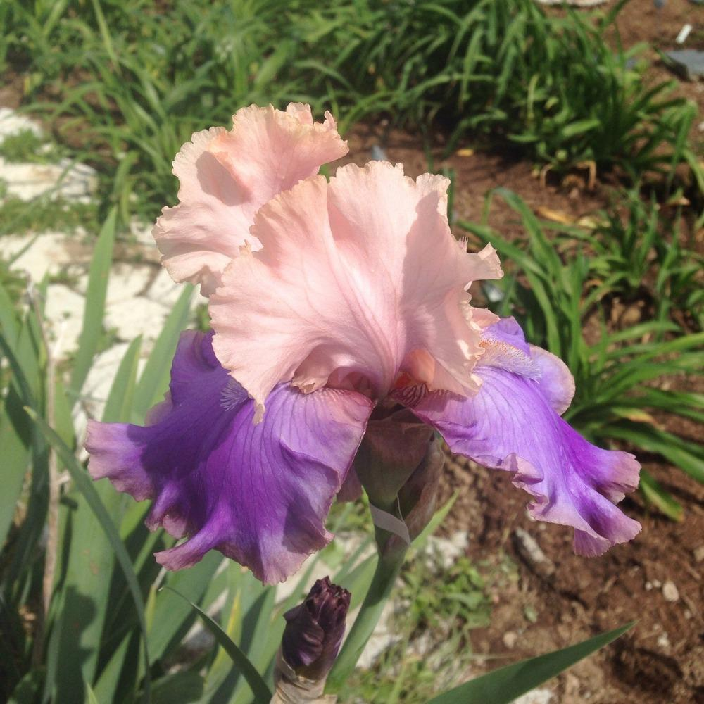 Photo of Tall Bearded Iris (Iris 'Florentine Silk') uploaded by gsutche