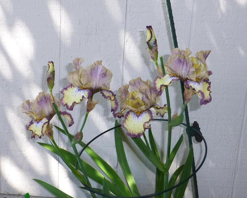 Photo of Tall Bearded Iris (Iris 'Ominous Stranger') uploaded by lutatajoslyn