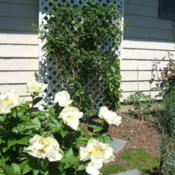 Location: Rose garden.Date: 2015-05-23Climbing rose Falstaff on trellis.
