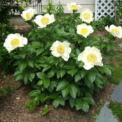 "Location: Rose garden, full sun.Date: 2015-05-23The blooms are enormous this year - about 8"" wide!"