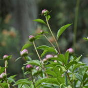Location: Zone 5Date: 2015-05-24 Peony buds ready to open.