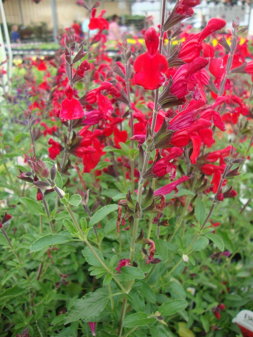 photo of the entire plant of autumn sage salvia greggii 39 radio red 39 posted by paul2032. Black Bedroom Furniture Sets. Home Design Ideas