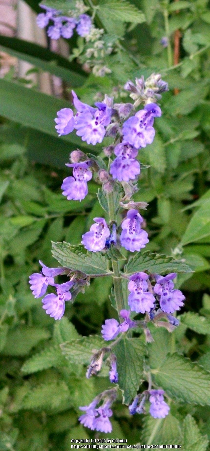Photo of Catmint (Nepeta x faassenii 'Walker's Low') uploaded by Catmint20906