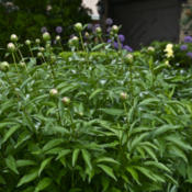 Location: Zone 5Date: 2015-05-24 A healthy peony bush specimen ready to bloom.