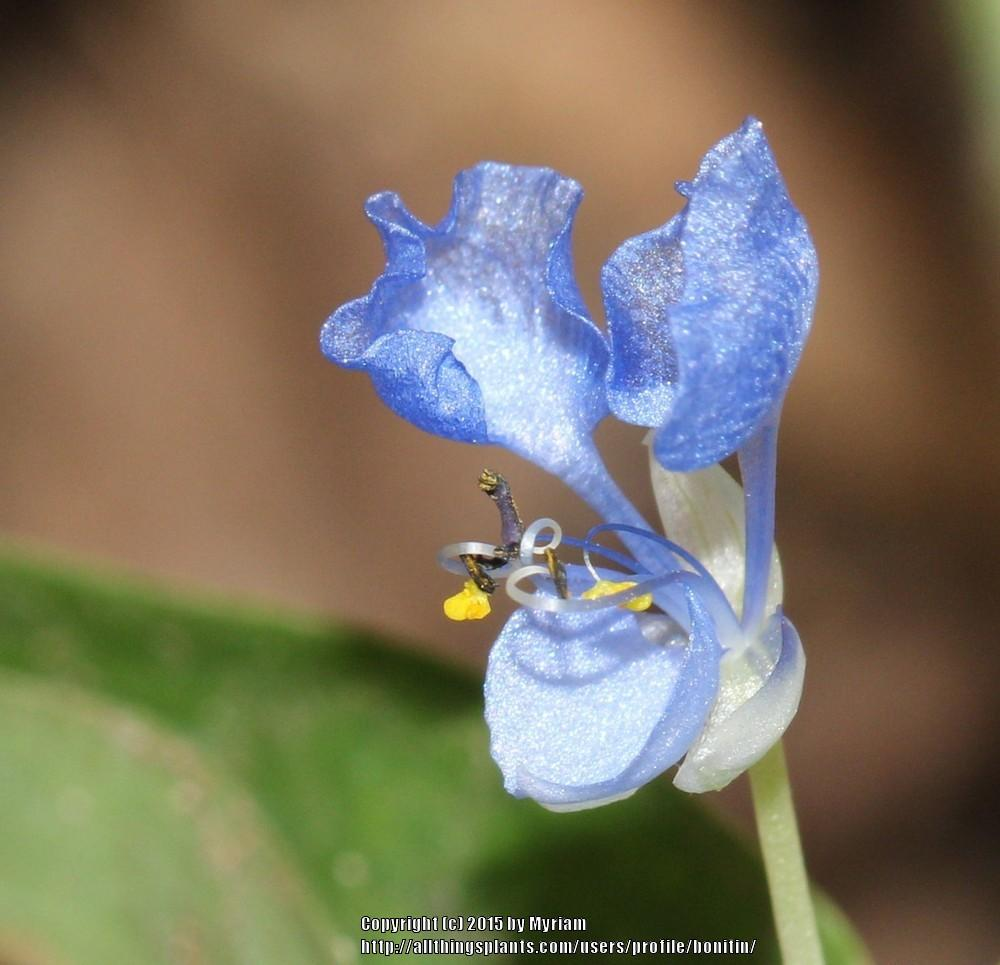 Photo of Dayflower (Commelina) uploaded by bonitin