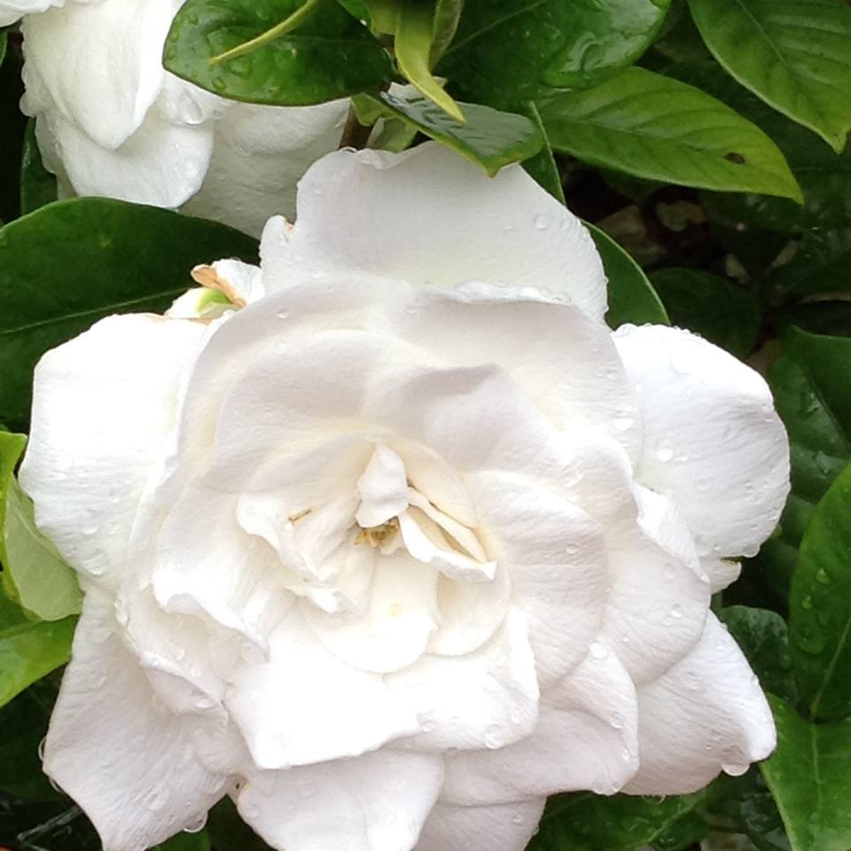 Gardenias Plant Care And Collection Of Varieties Garden