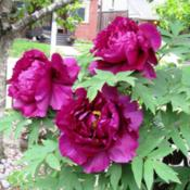 Location: My neighbor's garden, Toronto, OntarioDate: 2015-05-24