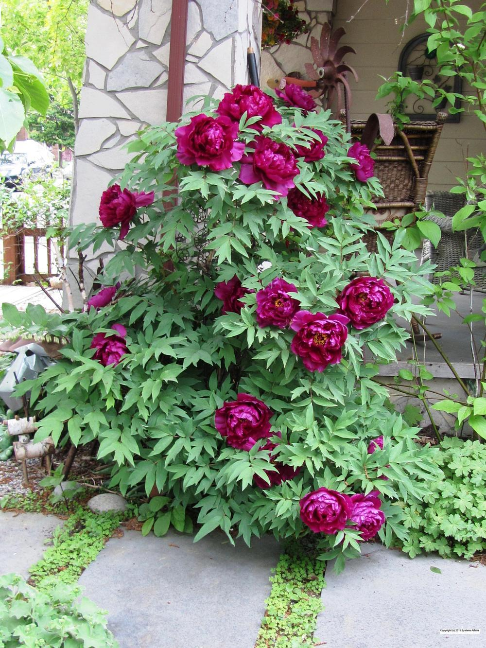 Peonies plant care and collection of varieties for Plant nursery
