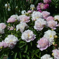 The Peonies Week Wrapup