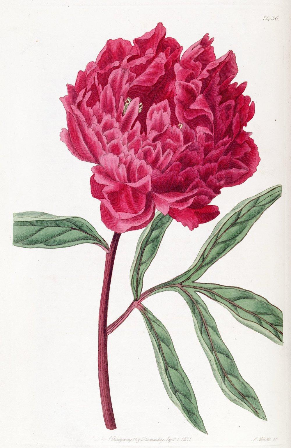 Photo of Chinese Peony (Paeonia lactiflora) uploaded by admin