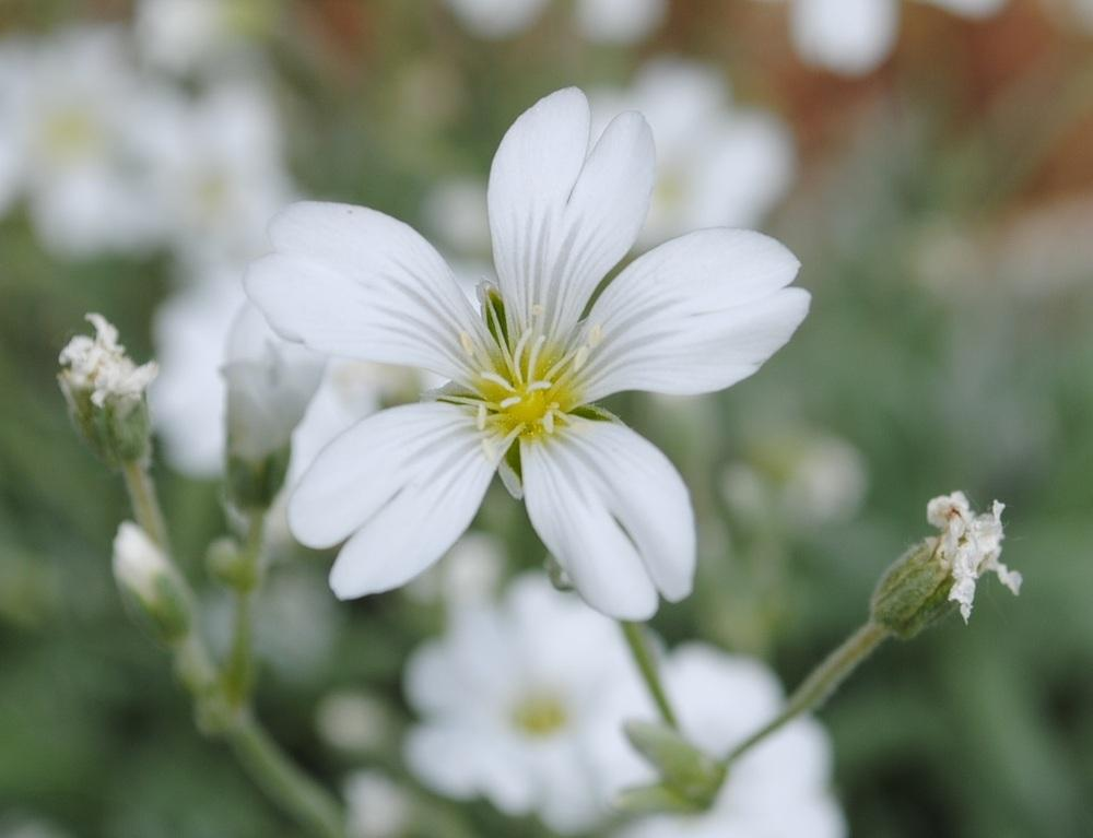 Photo of Snow-In-Summer (Cerastium tomentosum 'Columnae') uploaded by chelle