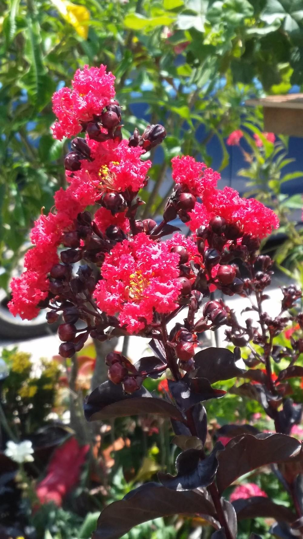 browse recent crepe myrtles images add or edit text about this plant