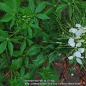 "Location: Opp, ALDate: 2015-05-27Plant making a white flower has a white ""eye"" on the leaves."