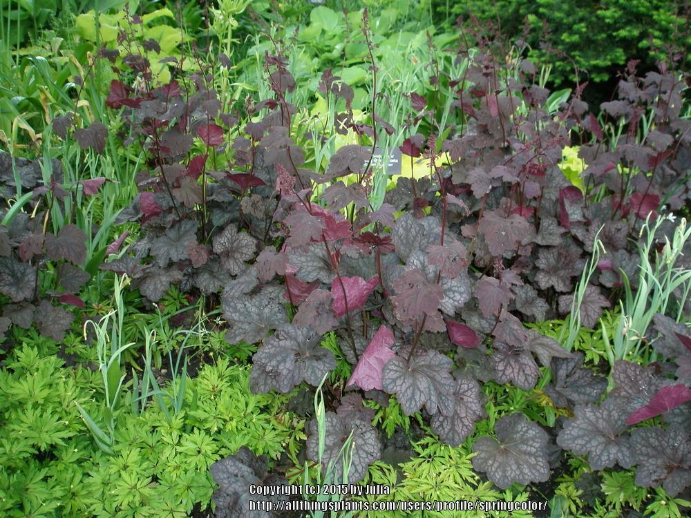 Photo of Coral Bells (Heuchera americana 'Velvet Night') uploaded by springcolor