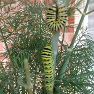 Caterpillers doubling in size each day & have changed colors!