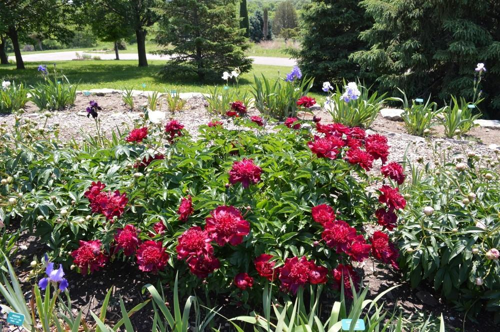 Photo of the entire plant of Garden Peony (Paeonia lactiflora \'Hot ...