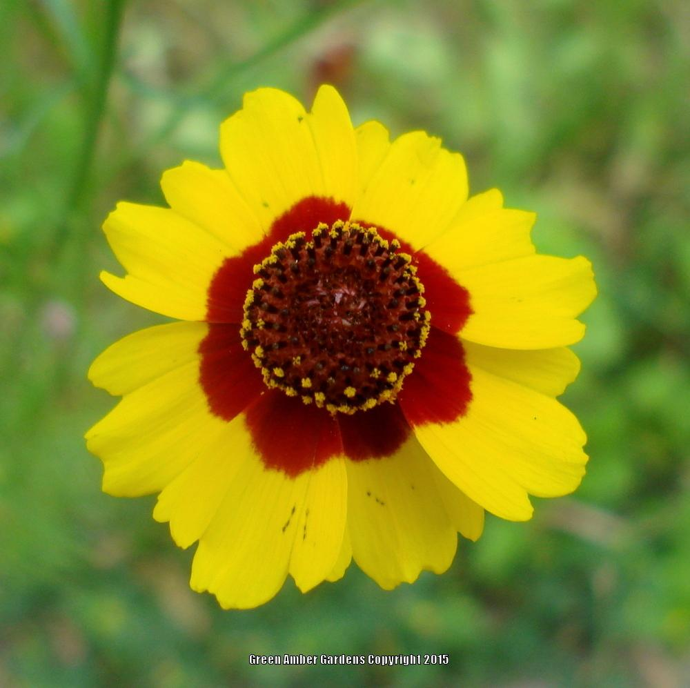 Photo of Plains Coreopsis (Coreopsis tinctoria) uploaded by lovemyhouse
