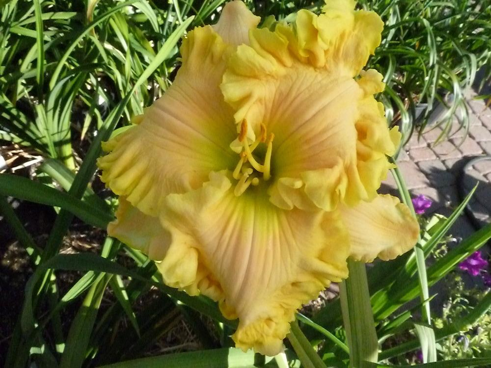 Photo of Daylily (Hemerocallis 'Butch and Barbara's Cracked Eggs') uploaded by lyle627
