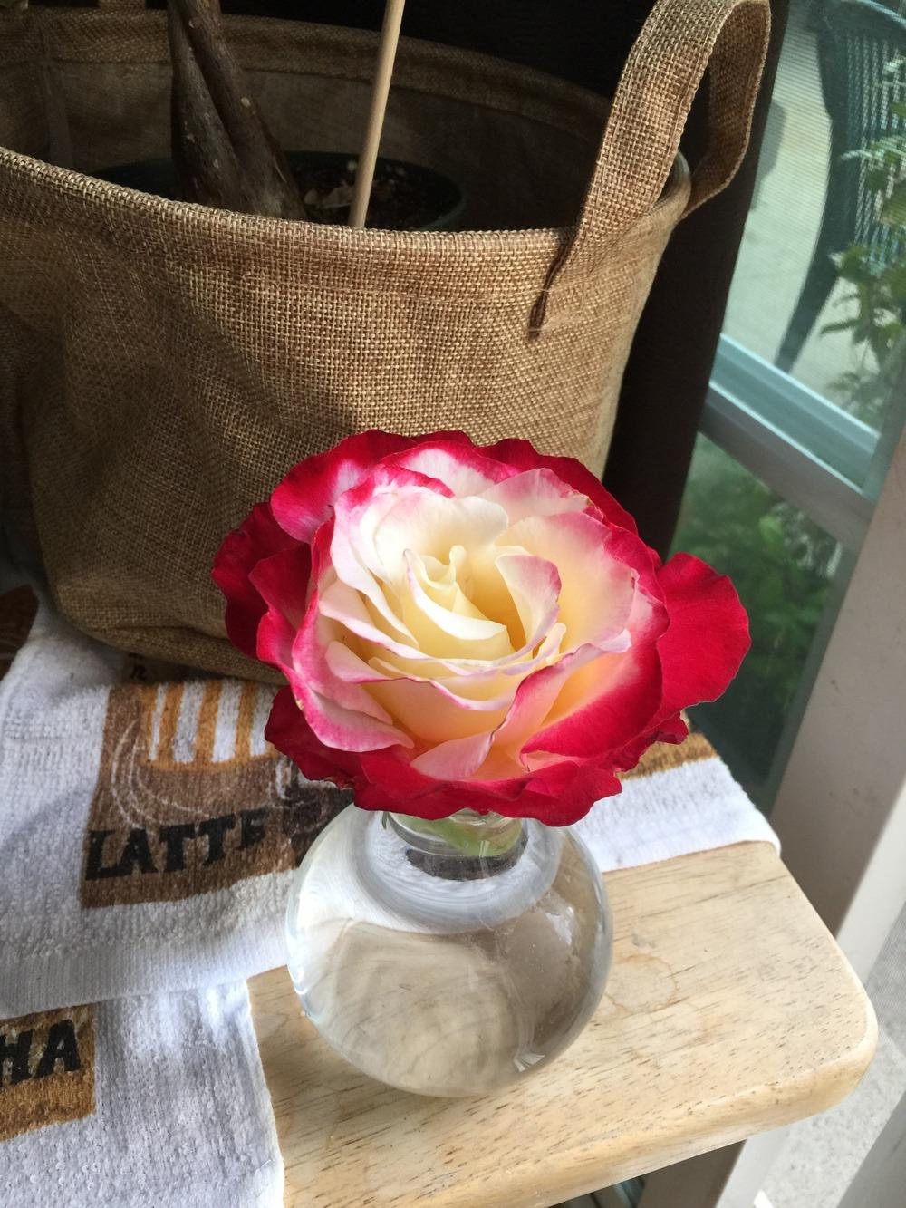 Photo of Rose (Rosa 'Double Delight') uploaded by mattmackay22