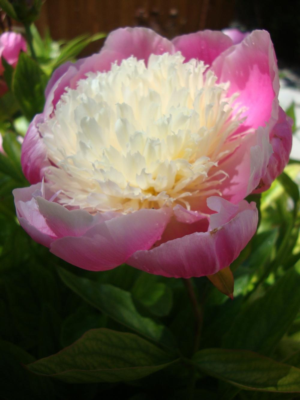 Photo of Peonies (Paeonia) uploaded by Paul2032